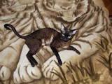 Кошки, котята Девон-рекс, цена 800 Грн., Фото