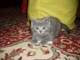 Кошки, котята Британская длинношёрстная, цена 650 Грн., Фото