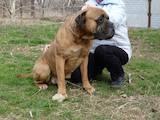 Собаки, щенята Бульмастиф, ціна 2500 Грн., Фото