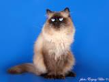 Кішки, кошенята Невськая маскарадна, Фото