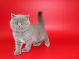 Кішки, кошенята Шотландська короткошерста, ціна 3000 Грн., Фото