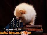 Собаки, щенята Карликовий шпіц, ціна 21000 Грн., Фото