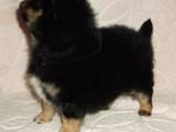 Собаки, щенята Малий шпіц, ціна 1500 Грн., Фото