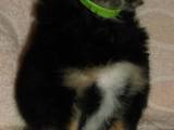 Собаки, щенки Малый шпиц, цена 1500 Грн., Фото