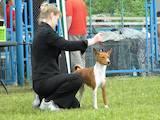 Собаки, щенята Басенджі, ціна 10 Грн., Фото