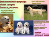 Собаки, щенки Золотистый ретривер, цена 4500 Грн., Фото