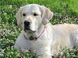 Собаки, щенята Золотистий ретрівер, ціна 4500 Грн., Фото