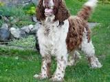 Собаки, щенята Англійська Спрінгер спаніель, Фото