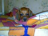 Собаки, щенки Гладкошерстная миниатюрная такса, цена 600 Грн., Фото