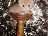 Кошки, котята Экзотическая короткошерстная, цена 1500 Грн., Фото