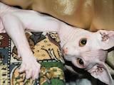 Кішки, кошенята Канадський сфінкс, ціна 1000 Грн., Фото