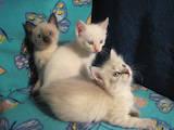 Кішки, кошенята Тайська, ціна 400 Грн., Фото
