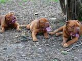 Собаки, щенята Бордоський дог, ціна 6000 Грн., Фото