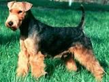 Собаки, щенки Вельштерьер, цена 4000 Грн., Фото