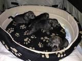 Собаки, щенки Миттельшнауцер, цена 1600 Грн., Фото