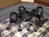 Собаки, щенята Міттельшнауцер, ціна 1600 Грн., Фото