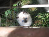 Кошки, котята Балинез, цена 500 Грн., Фото