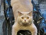 Кошки, котята Спаривание, цена 500 Грн., Фото