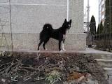 Собаки, щенки Восточно-Сибирская лайка, цена 4000 Грн., Фото