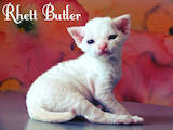 Кошки, котята Девон-рекс, цена 5000 Грн., Фото