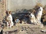 Собаки, щенки Боксер, цена 50 Грн., Фото