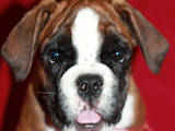 Собаки, щенята Американський коккер, ціна 4000 Грн., Фото