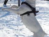 Собаки, щенята Американський бульдог, ціна 3000 Грн., Фото