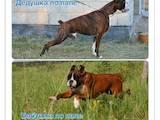 Собаки, щенки Боксер, цена 2400 Грн., Фото