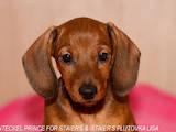 Собаки, щенята Гладкошерста мініатюрна такса, ціна 5000 Грн., Фото