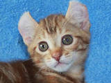 Кішки, кошенята Американський керл, ціна 2000 Грн., Фото