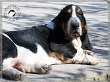 Собаки, щенки Бассет, цена 500 Грн., Фото