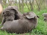 Собаки, щенята Мастіно неаполетано, ціна 4000 Грн., Фото