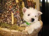 Собаки, щенята Вестхайленд уайт тер'єр, ціна 4000 Грн., Фото