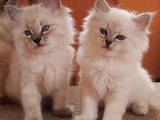 Кошки, котята Невская маскарадная, цена 4000 Грн., Фото