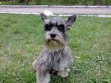Собаки, щенята Цвергшнауцер, ціна 2500 Грн., Фото