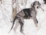 Собаки, щенки Немецкий дог, цена 3500 Грн., Фото