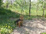 Собаки, щенки Вельштерьер, цена 5000 Грн., Фото