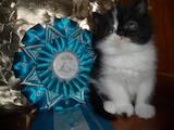 Кішки, кошенята Екзотична короткошерста, ціна 1000 Грн., Фото
