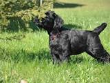 Собаки, щенята Різеншнауцер, ціна 5000 Грн., Фото
