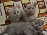 Кішки, кошенята Британська довгошерста, ціна 700 Грн., Фото