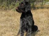 Собаки, щенки Немецкая жесткошерстная легавая, цена 2400 Грн., Фото