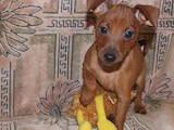 Собаки, щенки Пинчер, цена 2500 Грн., Фото