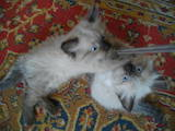 Кішки, кошенята Невськая маскарадна, ціна 1000 Грн., Фото
