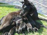 Собаки, щенки Бельгийская овчарка (Тервьюрен), цена 800 Грн., Фото