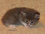 Кошки, котята Курильский бобтейл, цена 10 Грн., Фото