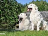 Собаки, щенята Польська підхаланська вівчарка, ціна 700 Грн., Фото
