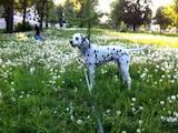 Собаки, щенята Далматин, ціна 1 Грн., Фото