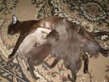 Кошки, котята Бурма, цена 3000 Грн., Фото