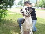 Собаки, щенки Немецкий дог, цена 4500 Грн., Фото