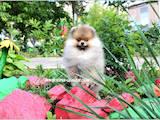 Собаки, щенки Малый шпиц, цена 25000 Грн., Фото